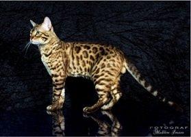 Leopardettes